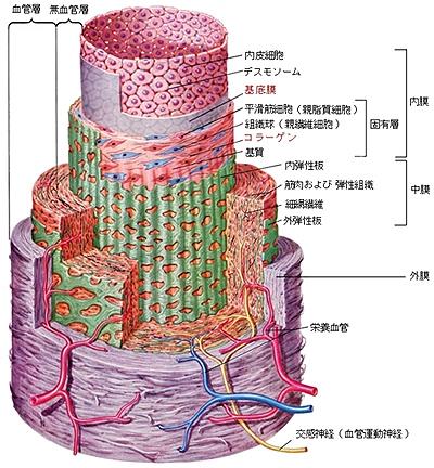 動脈の構造 動脈硬化の発症秩序 | 特定非営利活動法人東海循環器病診連携フォーラム 特定非営利活